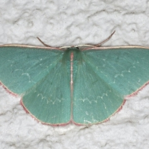 Chlorocoma (genus) at Ainslie, ACT - 28 Nov 2019