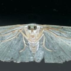 Prasinocyma semicrocea at Ainslie, ACT - 28 Nov 2019