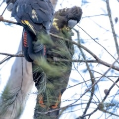 Calyptorhynchus lathami (Glossy Black-Cockatoo) at Penrose - 30 Jun 2020 by Aussiegall