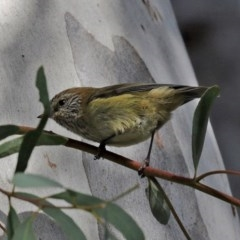 Acanthiza lineata (Striated Thornbill) at ANBG - 1 Jul 2020 by RodDeb