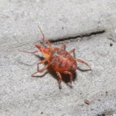 Bdellidae sp. (family) (Unidentified Snout Mite) at ANBG - 1 Jul 2020 by TimL