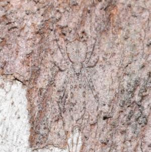 Tamopsis sp. (genus) at ANBG - 1 Jul 2020