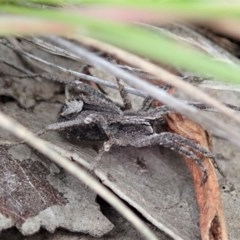 Argoctenus sp. (genus) (Wandering ghost spider) at Mount Painter - 24 Jun 2020 by CathB