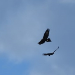 Aquila audax (Wedge-tailed Eagle) at Panboola - 1 Jul 2020 by LizAllen