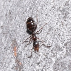 Myrmecorhynchus emeryi (Possum Ant) at ANBG - 30 Jun 2020 by TimL