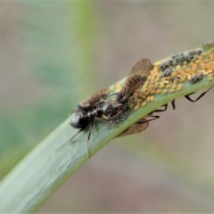 Psyllidae sp. (family) (Unidentified psyllid or lerp insect) at Mount Painter - 24 Jun 2020 by CathB