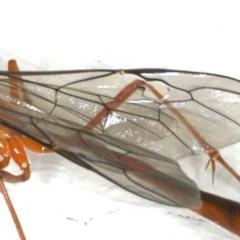 Dicamptus fuscicornis at Ainslie, ACT - 29 Nov 2019
