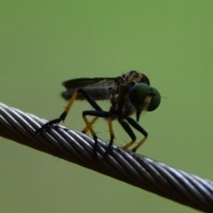 Ommatius sp. (Common Yellow Robber Fly) at WI Private Property - 25 Feb 2020 by wendie