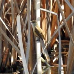 Acrocephalus australis (Australian Reed-Warbler) at Jerrabomberra Wetlands - 1 Oct 2018 by RodDeb