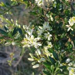 Bursaria spinosa (Native Blackthorn) at - 30 Mar 2020 by ClaireSee