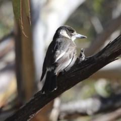 Cracticus torquatus (Grey Butcherbird) at Lake Ginninderra - 3 Jul 2020 by Alison Milton