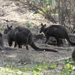 Macropus robustus (Wallaroo) at Mcquoids Hill - 2 Jul 2020 by HelenCross