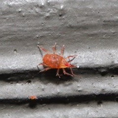Bdellidae sp. (family) (Unidentified Snout Mite) at ANBG - 3 Jul 2020 by TimL