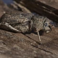 Cubicorhynchus sp. (genus) (Ground weevil) at Lake Ginninderra - 3 Jul 2020 by AlisonMilton