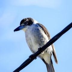 Cracticus torquatus (Grey Butcherbird) at Higgins, ACT - 3 Jul 2020 by Alison Milton