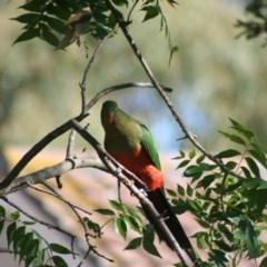 Alisterus scapularis (Australian King-Parrot) at Higgins, ACT - 3 Mar 2006 by Alison Milton