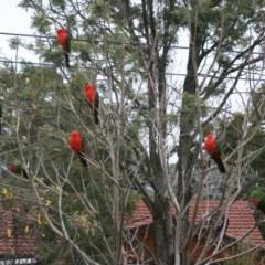 Alisterus scapularis (Australian King-Parrot) at Higgins, ACT - 11 Jun 2006 by Alison Milton
