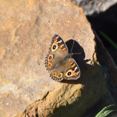 Junonia villida (Meadow Argus) at WI Private Property - 5 May 2020 by wendie