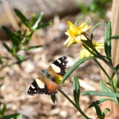 Vanessa itea (TBC) at WI Private Property - 5 May 2020 by wendie