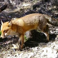 Vulpes vulpes (Red Fox) at Tuggeranong DC, ACT - 4 Jul 2020 by ChrisHolder