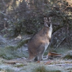Macropus rufogriseus (Red-necked Wallaby) at Namadgi National Park - 3 Jul 2020 by RichForshaw