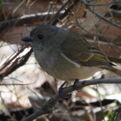 Pachycephala olivacea (Olive Whistler) at Black Range, NSW - 29 Jun 2020 by AndrewMcCutcheon
