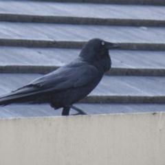 Corvus coronoides (Australian Raven) at Higgins, ACT - 17 Oct 2010 by Alison Milton