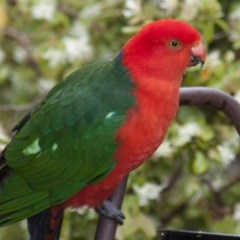 Alisterus scapularis (Australian King-Parrot) at Higgins, ACT - 23 Oct 2010 by Alison Milton