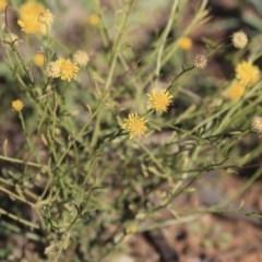 Calotis lappulacea (Yellow burr daisy) at Garran, ACT - 19 Jun 2020 by AlisonMilton