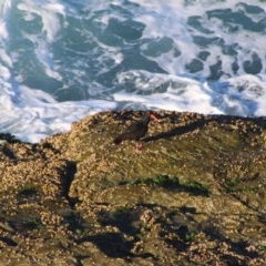 Haematopus fuliginosus (Sooty Oystercatcher) at Batemans Marine Park - 5 Jul 2020 by LisaH