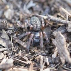 Badumna insignis (Black House Spider) at Lake Ginninderra - 3 Jul 2020 by AlisonMilton