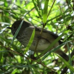 Acanthiza pusilla (Brown Thornbill) at ANBG - 3 Jul 2020 by Christine