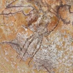 Tamopsis sp. (genus) at ANBG - 26 Jun 2020