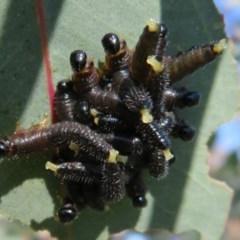 Perga sp. (genus) (Sawfly or Spitfire) at Kama - 5 Jul 2020 by Christine