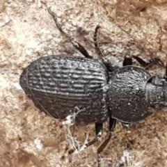 Adelium porcatum (Darkling Beetle) at The Pinnacle - 6 Jul 2020 by tpreston