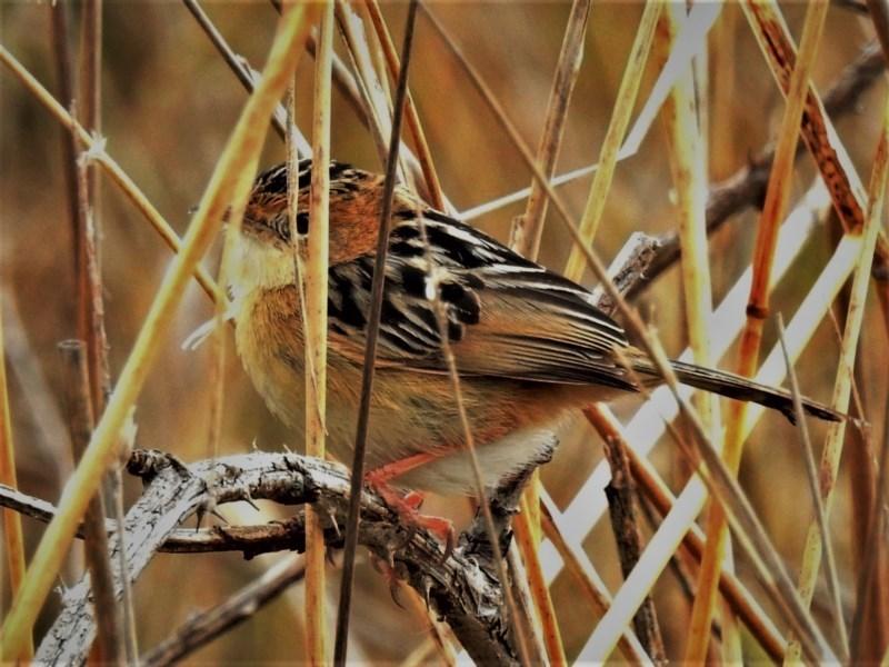 Cisticola exilis at Jerrabomberra Wetlands - 6 Jul 2020