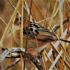 Cisticola exilis (Golden-headed Cisticola) at Jerrabomberra Wetlands - 6 Jul 2020 by JohnBundock