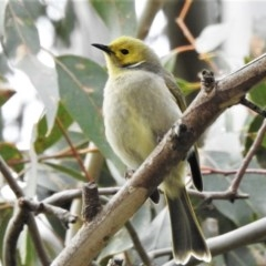 Ptilotula penicillata (White-plumed Honeyeater) at Jerrabomberra Wetlands - 6 Jul 2020 by JohnBundock