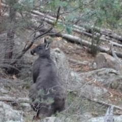 Macropus robustus (Wallaroo) at Isaacs Ridge - 6 Jul 2020 by Mike