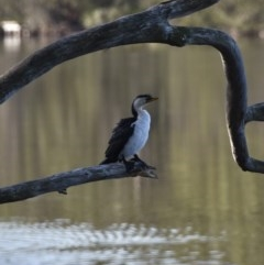 Microcarbo melanoleucos (Little Pied Cormorant) at Tabourie Lake Walking Track - 5 Jul 2020 by wendie