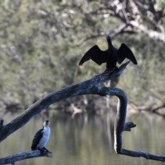 Phalacrocorax sulcirostris (Little Black Cormorant) at Tabourie Lake Walking Track - 5 Jul 2020 by wendie