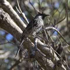 Anthochaera chrysoptera (Little Wattlebird) at Lake Tabourie Bushcare - 5 Jul 2020 by wendie