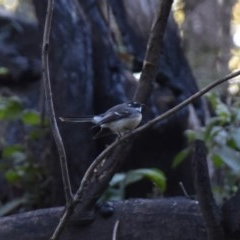 Rhipidura albiscapa (Grey Fantail) at WI Private Property - 5 Jul 2020 by wendie