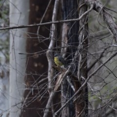 Eopsaltria australis (Eastern Yellow Robin) at WI Private Property - 5 Jul 2020 by wendie
