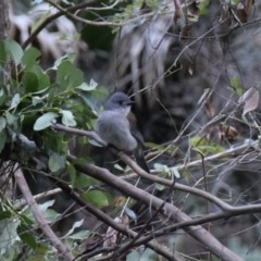 Colluricincla harmonica (Grey Shrike-thrush) at WI Private Property - 5 Jul 2020 by wendie