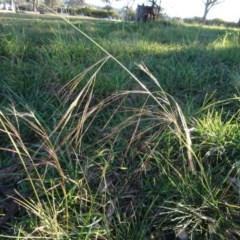 Austrostipa bigeniculata (Kneed Speargrass) at Murrumbateman Cemetery - 5 Jul 2020 by AndyRussell