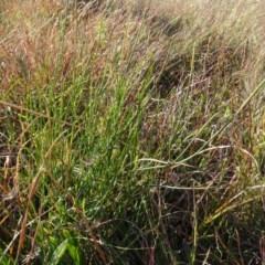 Tricoryne elatior (Yellow Rush Lily) at Murrumbateman Cemetery - 5 Jul 2020 by AndyRussell