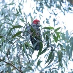 Callocephalon fimbriatum (Gang-gang Cockatoo) at Penrose - 30 Jun 2020 by Aussiegall