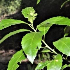 Claoxylon australe (Brittlewood) at Worrigee, NSW - 6 Jul 2020 by plants