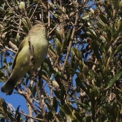 Smicrornis brevirostris (Weebill) at Evatt, ACT - 7 Jul 2020 by KMcCue